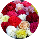 Розы корнесобствен. разносортица ПО ГРУППАМ (возможны повторы) по 100 руб.