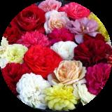 Розы корнесобствен. разносортица (не более 2 повторов ) по 90 руб.