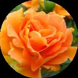 Розы другие
