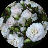 Розы корнесобственные по группам и сортам продажа от 280 руб.