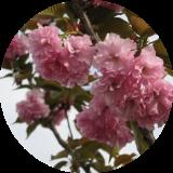 Декоративно цветущие деревья и кустарники