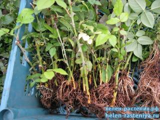 Розы корнесобственные разносортица (все разные) только от 100 шт. по 90 руб.