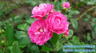 Пепита, Pepita, миниатюрная, роза корнесобственная