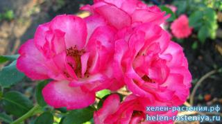 Чамлыкская, плетистая, роза корнесобственная