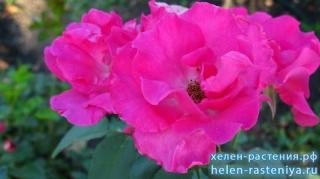 Ларсен, флорибунда, роза корнесобственная