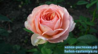 Роза английская, не определена