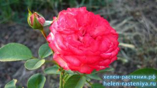 Роза шраб, не определена