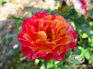 """Роза миниатюрная """"Бигуди"""""""