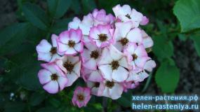 Пуччини, Puccini, гибриды мускусные роза корнесобственная