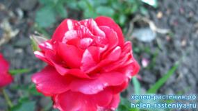 Брауни, Brownie, плетистая (Клаймберы), роза корнесобственная