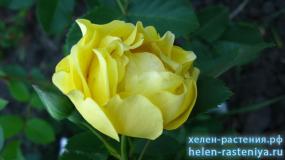 Голден Шоверс, Golden Showers,  роза плетистая корнесобственная