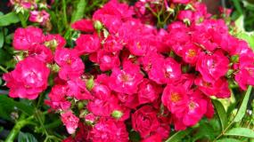 Роза мускусная (Артикул: 00247)