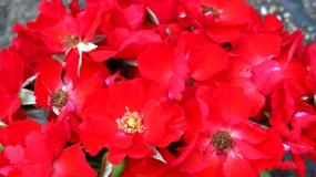 Роза парковая (Артикул: 00333)