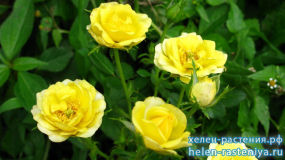 Еллоу Фейри, Yellow Fairy, почвопокровная, роза корнесобственная