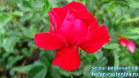 Аустриана, Austriana, почвопокровная, роза корнесобственная