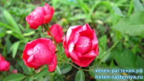 Мосдаг, Morsdag, почвопокровная, роза корнесобственная