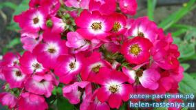 Марджори Фейр, Marjorie Fair, гибриды мускусные, роза корнесобственная