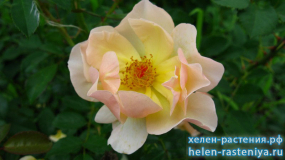 Амбер Сан, Amber Sun, почвопокровная, роза корнесобственная
