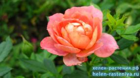 Бриоса, Briosa, флорибунда, роза корнесобственная