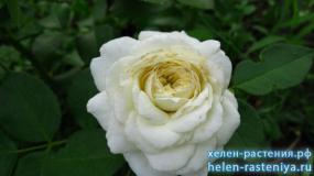Алабастер,  Alabaster, флорибунда, роза корнесобственная