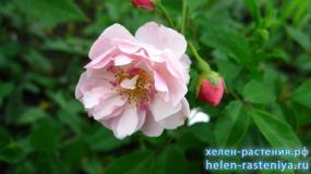 Корнелия, Cornelia, гибриды мускусные, роза корнесобственная