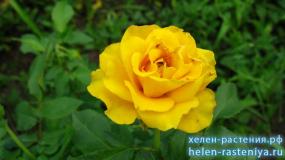 Еллоу Бейби, Yellow Baby, спрей, роза корнесобственная