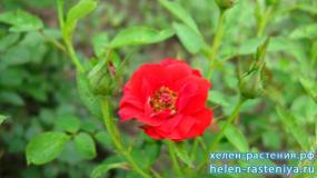 Гартенфройде, Gartnerfreude, шраб, роза корнесобственная