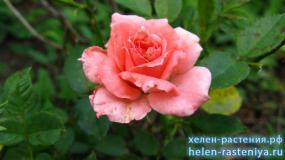 Классик Лидия, Classic Lydia, спрей, роза корнесобственная