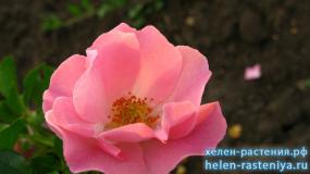 Зоммервинд, Sommerwind, почвопокровная, роза корнесобственная