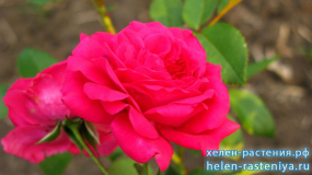 Лагуна, Laguna, плетистая (клаймбер), роза корнесобственная