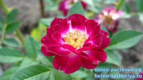 Даймонд Айс, Diamond Eyes, миниатюрная, роза корнесобственная