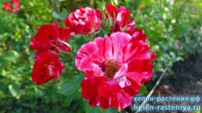 Форт оф Джули, Fourth Оf July, плетистая (Клаймберы), роза корнесобственная