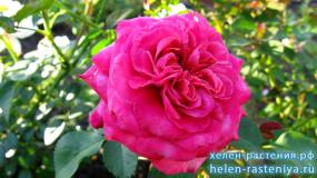 Агнес Шиллигер, Agnes Schilliger, шраб (кустарниковая), роза корнесобственная