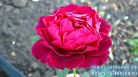 Омаж а Барбара, Hommage a Barbara, чайно-гибридная, роза корнесобственная
