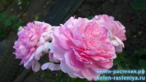 Роза розовая, не определена
