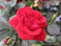 Роза парковая (Артикул: 00059)