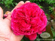 Роза парковая (роза четырёх ветров)