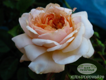 Роза  английская (Артикул: 00072)