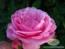 Роза парковая (Артикул: 00166)