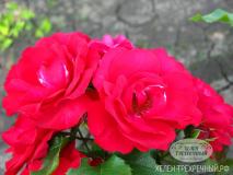 Роза парковая (Артикул: 00158)
