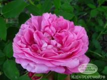 Роза парковая (Артикул: 00260)