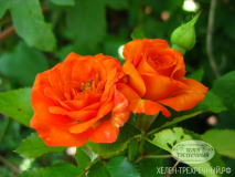 Роза спрей (Артикул: 00083)