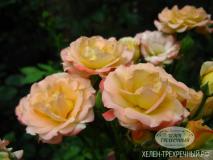 Роза спрей (Артикул: 00012)