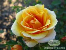 Роза спрей (Артикул: 00099)