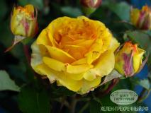 Роза спрей (Артикул: 00060)